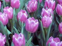 2 tulipan pola Fotografia Stock
