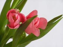 2 tulipanu Zdjęcie Royalty Free