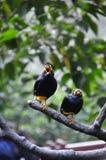 2 urracas de Célebes que cantan en el árbol Fotografía de archivo libre de regalías