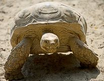 2 uruchomić panafrykańskiego żółwia Fotografia Royalty Free