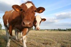 2 vacas Imagen de archivo libre de regalías