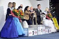 2 vinnarear för hundgrayhoundshow Fotografering för Bildbyråer
