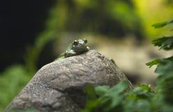 2 viridis bufo Στοκ φωτογραφία με δικαίωμα ελεύθερης χρήσης