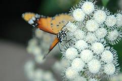 2 vita fjärilsblommor royaltyfri foto