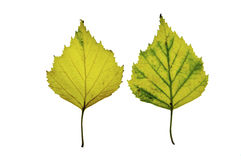 2 vita isolerade leaves för bakgrund björk Royaltyfri Fotografi