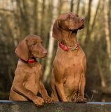 2 Vizsla Dogs Standing on Brown Wood Plank Royalty Free Stock Photography