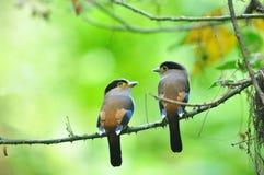 2 Vogel Broadbill (Silber-breasted) Stockfotografie