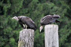 2 Vultures Royalty Free Stock Photos