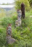 2 watchful Leopards Royalty Free Stock Images