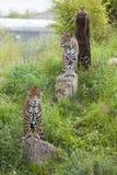 2 watchful Leopards Royaltyfria Bilder
