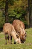 2 waterbucks пася Стоковое Фото