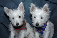 2 Westies Royalty Free Stock Photography