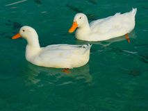2 White Duck on Clue Clear Water Stock Photography