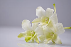 2 white för orchid tre Royaltyfri Bild