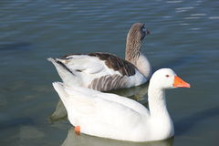 2 White geese. Swimming in the river Royalty Free Stock Photos