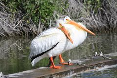 2 White Pelicans Stock Images