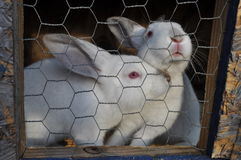 2 white rabits in a cage Royalty Free Stock Photo