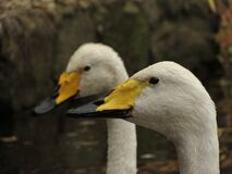 2 White Yellow and Black Ducks Stock Images