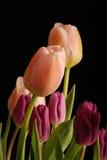 2 wiązek tulipany obrazy royalty free