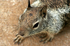 2 wiewiórka naziemna Zdjęcia Royalty Free