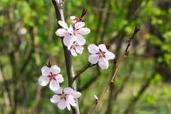 2 wild Cherryblommor Royaltyfria Bilder