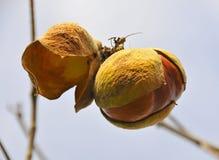 2 wild kastanjebruna frö Arkivbilder