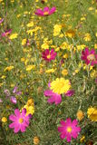 2 wildflowers qinghai фарфора Стоковые Изображения RF