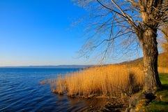 2 willow drzewa. Zdjęcie Stock