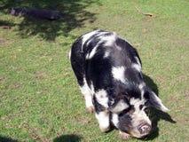 2 świnia Zdjęcia Royalty Free