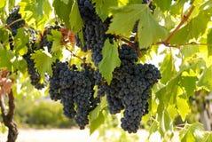 2 winogrono zdjęcia stock