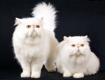 2 witte Persians op zwarte Royalty-vrije Stock Afbeeldingen