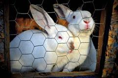 2 witte rabits in een kooi Stock Fotografie