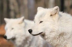2 wolfs белизн в природе Стоковое фото RF