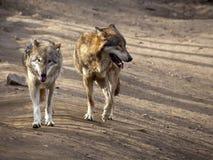 2 wolfs Стоковое Изображение