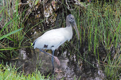 2 woodstork Obraz Stock