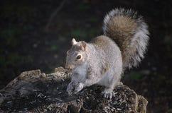 2 wschodnich szarość wiewiórka Zdjęcie Royalty Free