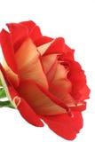 2 wspaniałe białe róże Obrazy Stock