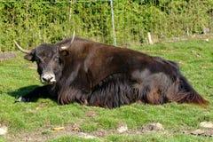 2 yak Arkivbilder