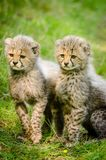 2 Yellow and Black Cheetah Sitting Together Stock Photography