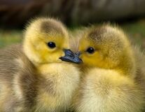 2 Yellow Ducklings Closeup Photography Royalty Free Stock Photography