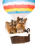 2 Yorkie puppies sitting inside hot air balloon royalty free stock photo