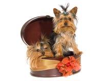 2 Yorkies lindo dentro del rectángulo de regalo marrón Imagen de archivo libre de regalías