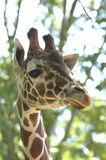 2 żyrafa Zdjęcie Royalty Free