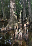 2 łysych cyprysu drzewa Zdjęcia Stock