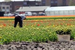 2 zbieracki kwiatów tulipanu pracownik Zdjęcia Stock