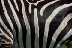 2 zebra tekstur Fotografia Royalty Free