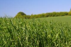 2 zielone bogactwa trawy Fotografia Royalty Free