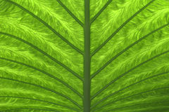 2 zielonych liści palma Zdjęcia Royalty Free