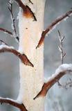 2 zimy korowata Obraz Royalty Free