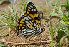 20只蝴蝶dichroa sephisa 免版税库存照片